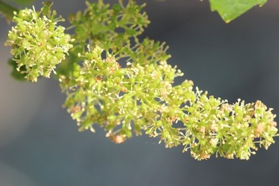 flowering at Fog Crest Vineyard