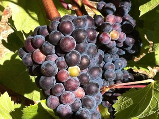 Pinot Noir at Fog Crest Vineyard